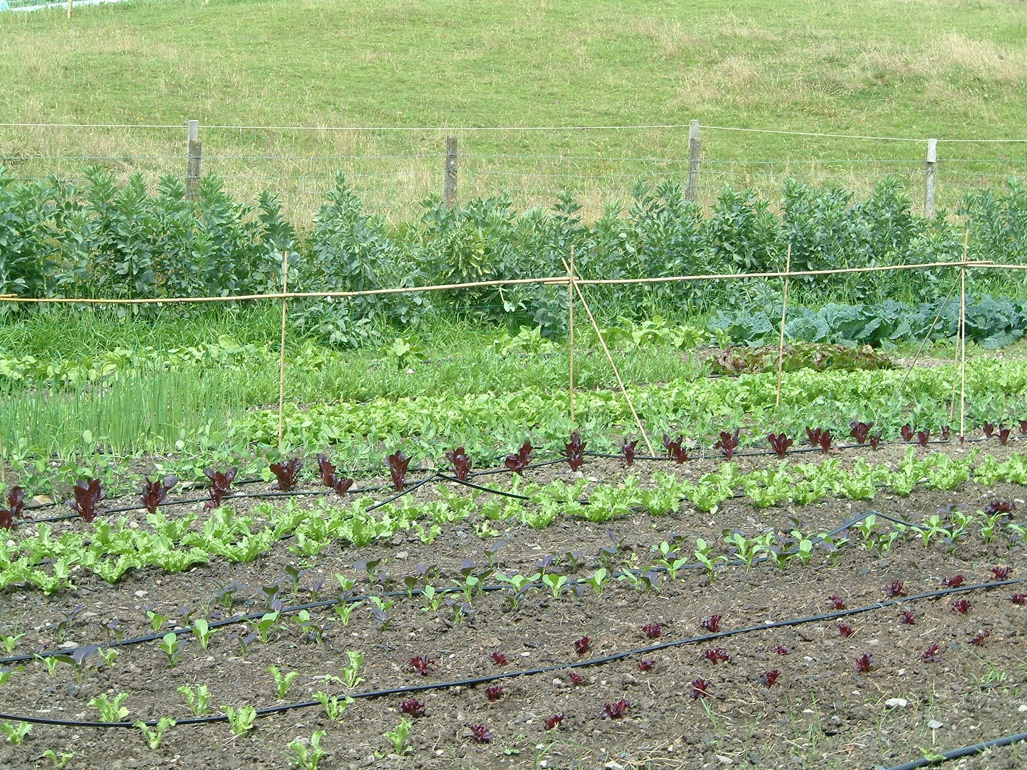 Village_veg_farmpics._20.7.09_028